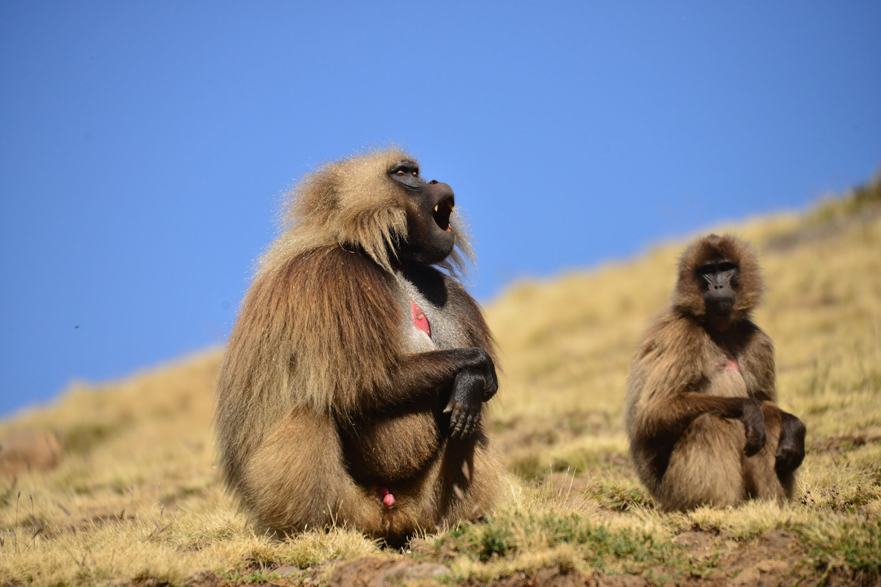 Simien_Mountain_Gelada_Monkeys.jpg