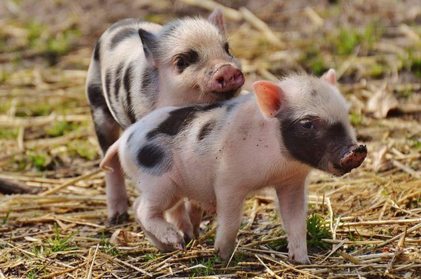 Specac_Piglets.jpg